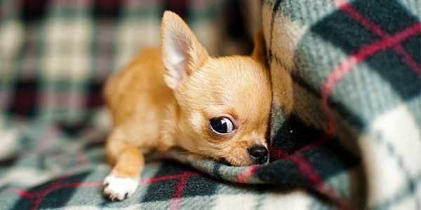 elenco razze cani piccola taglia