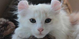gatto american curl