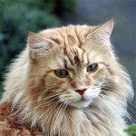 icona gatti grandi