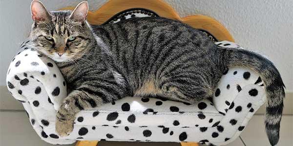 razze gatti giganti