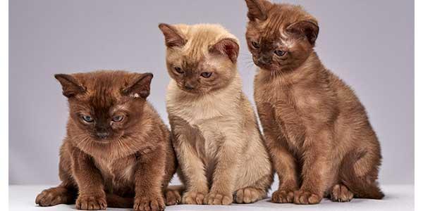 razze gatti piccoli