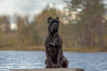 cane corso italiano