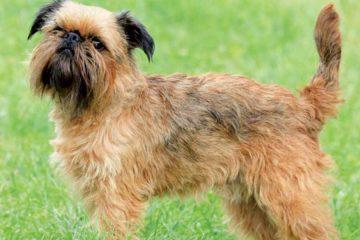 cane griffone di bruxelles