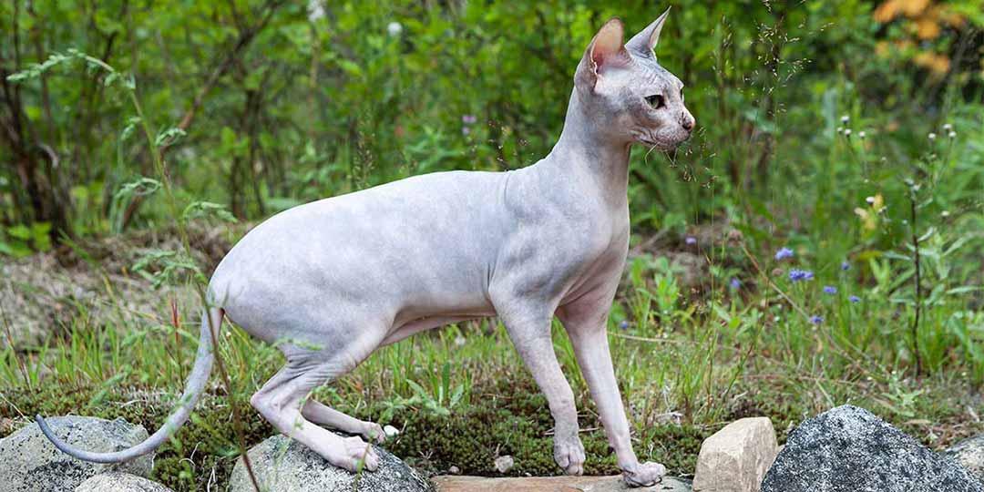 gatto don sphynx