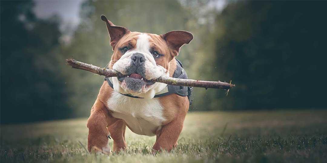 bulldog inglese carattere