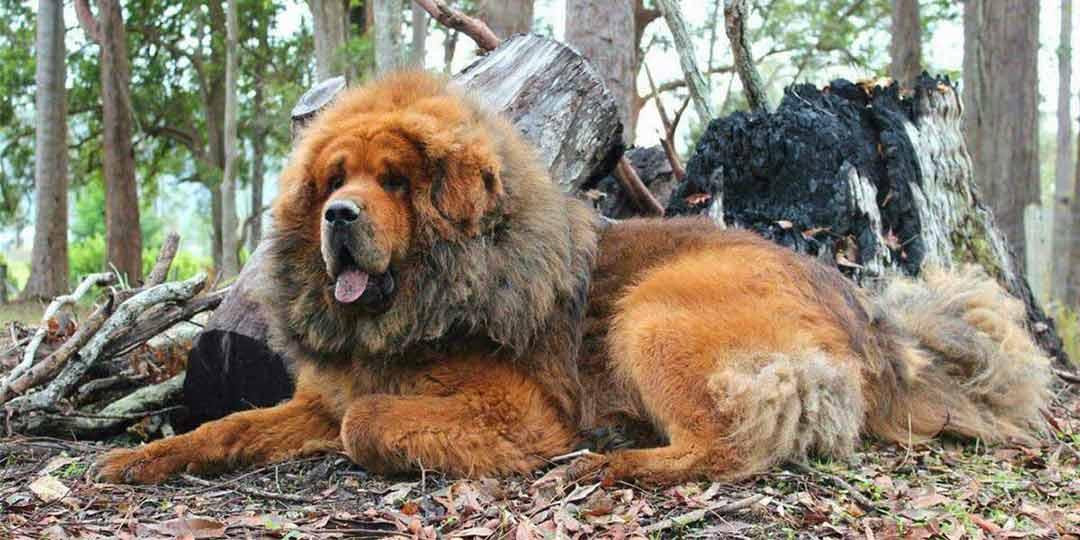cane mastino tibetano