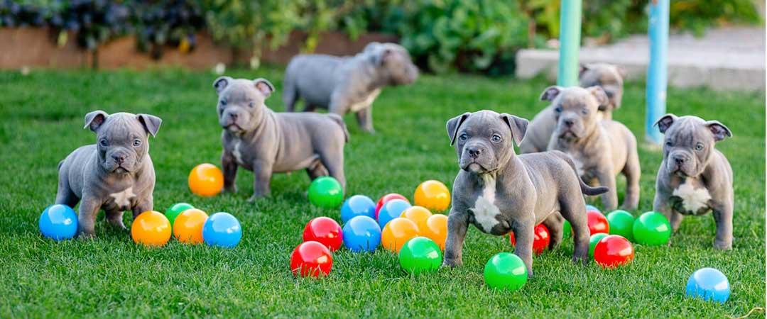 cuccioli amstaff blue