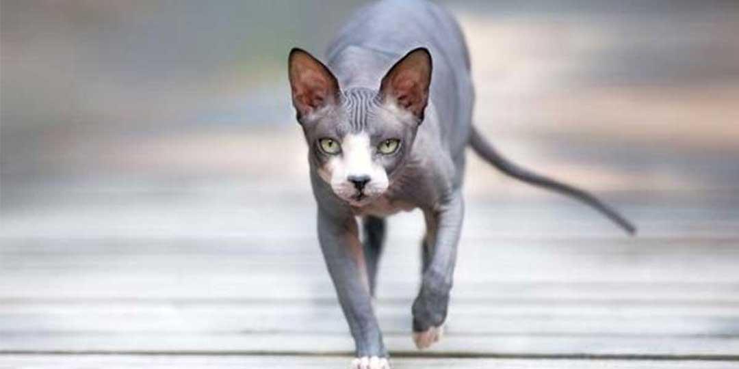gatto donskoy