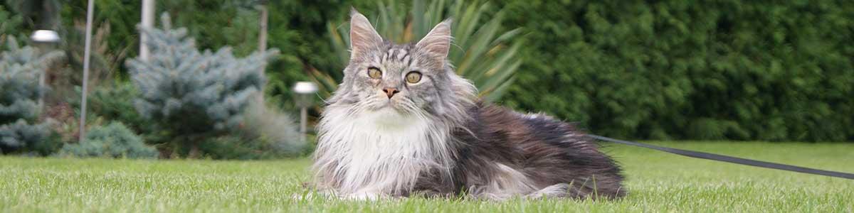 razze gatti grandi