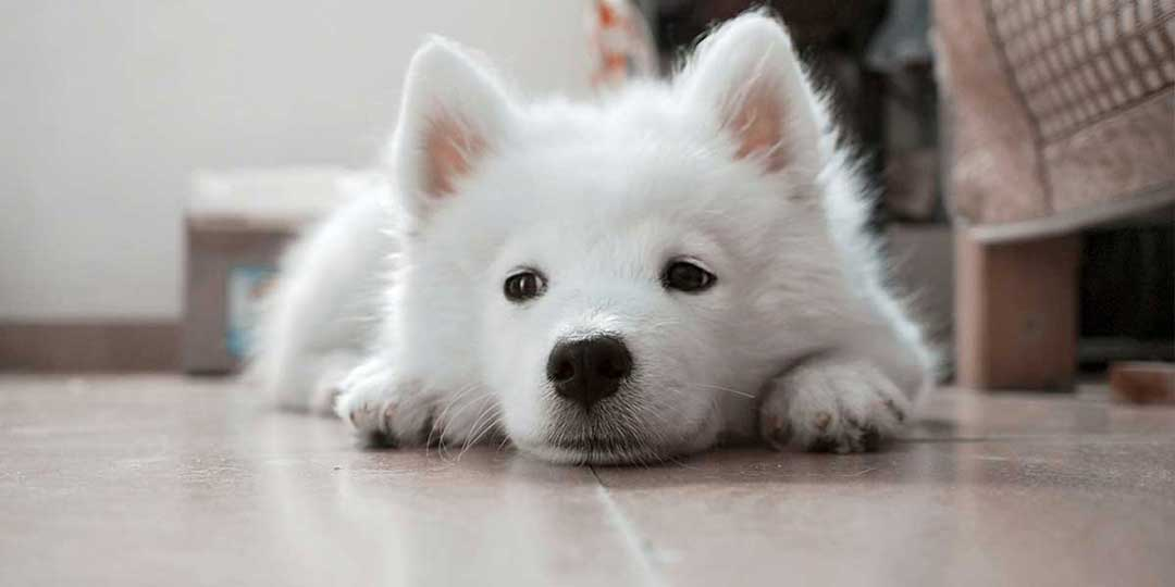 sognare cane bianco